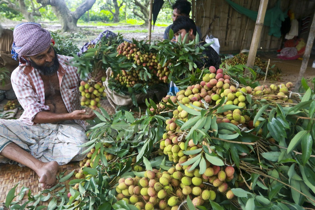 Workers are busy making litchi ready for sale in the market. Every hundred litchi is being sold for Tk 250 to Tk 500. Photo: Abdullah Al Momin