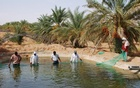 Harvesting Nile tilapia in a small-scale desert fish pond in Ouargla, Algeria. FAO Aquaculture Photo Library