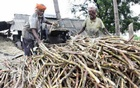 India poised to unveil sweeteners for sugar mills, cane growers