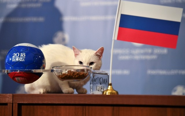 Achilles the cat, one of the State Hermitage Museum mice hunters, attempts to predict the result of the opening match of the 2018 FIFA World Cup between Russia and Saudi Arabia during an event in Saint Petersburg, Russia June 13, 2018. Reuters