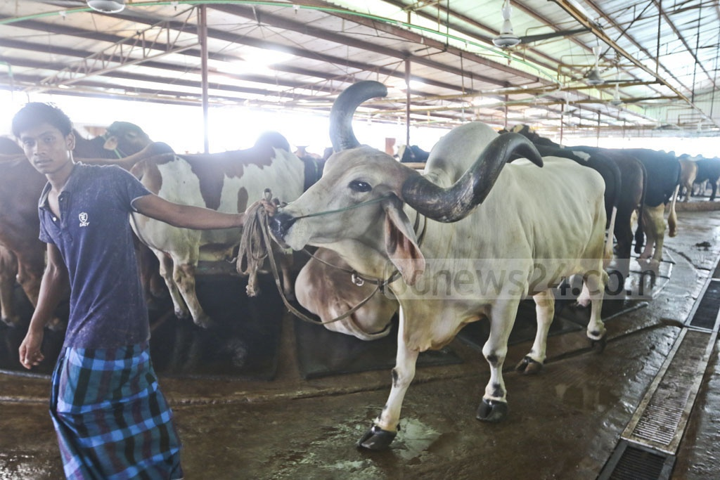 Farms ready cattle for display at various markets around Dhaka ahead of Eid-ul-Azha. The photo was taken at the Meghdubi Aggro Farm in the Basila Garden City area. Photo: Abdullah Al Momin
