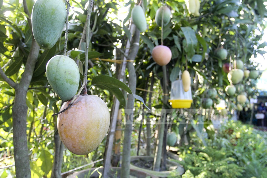 Different varieties of mango trees are available at the month-long National Tree Fair in Dhaka's Sher-e-Bangla Nagar on Wednesday. Photo: Asif Mahmud Ove