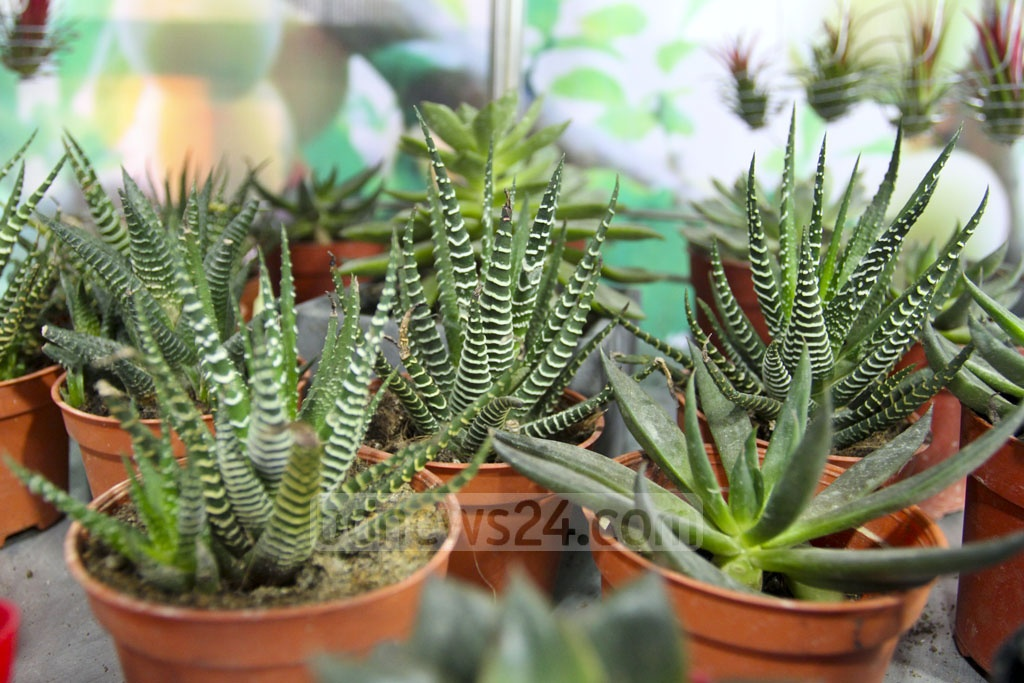 Cacti of different colours are on display at the month-long National Tree Fair in Dhaka's Sher-e-Bangla Nagar on Wednesday. Photo: Asif Mahmud Ove