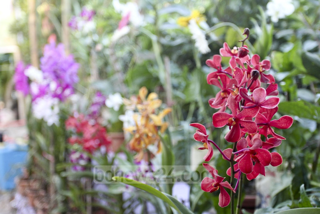 Colourful orchids are on display at the month-long National Tree Fair in Dhaka's Sher-e-Bangla Nagar on Wednesday. Photo: Asif Mahmud Ove
