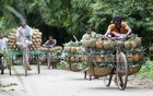 Farmers carrying pineapple baskets on both sides of the bicycles go in line to the market. Photo: nayan kumar
