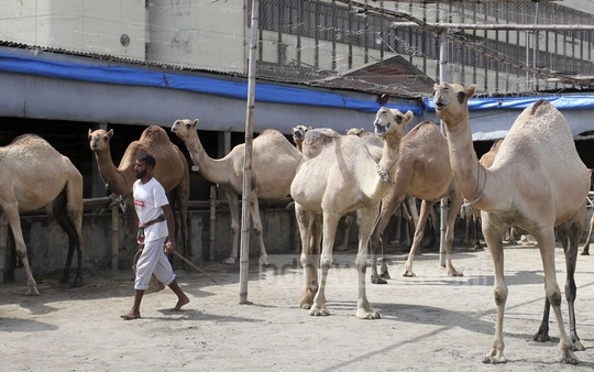 A farm at Dhaka's Motijheel is charging between Tk 1 million and Tk 1.5 million for a camel before the Eid-ul-Azha. The photo was taken on Thursday. Photo: Asif Mahmud Ove