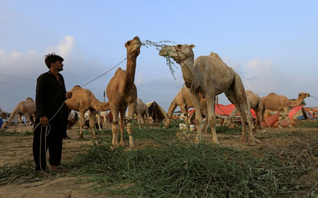 A man feeds sacrificial camels for sale at a cattle market ahead of the Eid al-Adha festival in Islamabad, Pakistan August 15, 2018. Reuters