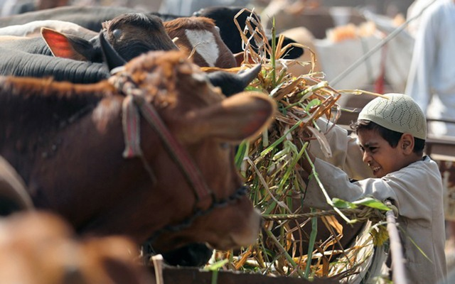 A boy feeds a cow at a cattle market in Al Manashi village ahead of the Muslim festival of sacrifice Eid al-Adha in Giza, on the outskirts of Cairo, Egypt August 9, 2018. Reuters