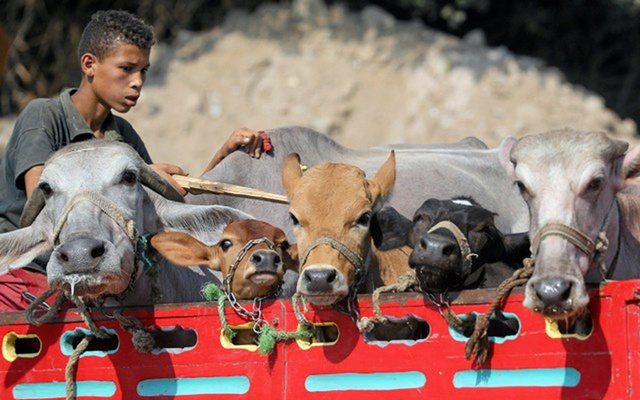 A vendor awaits customers at a cattle market in Al Manashi village, ahead of the Muslim festival of sacrifice Eid al-Adha in Giza, on the outskirts of Cairo, Egypt August 9, 2018. Reuters