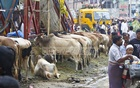 Though many cows have arrived at the Korbani Market in Dhaka's Shonir Akhra, there are few customers. Photo: Abdullah Al Momin