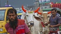 People taking a cow to their home after buying it at a Dhaka market. Photo: Abdullah Al Momin
