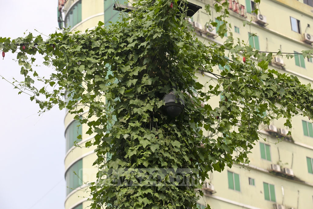 A CCTV security camera has been covered by ivy in Dhaka's Farmgate area. Photo: Mahmud Zaman Ovi