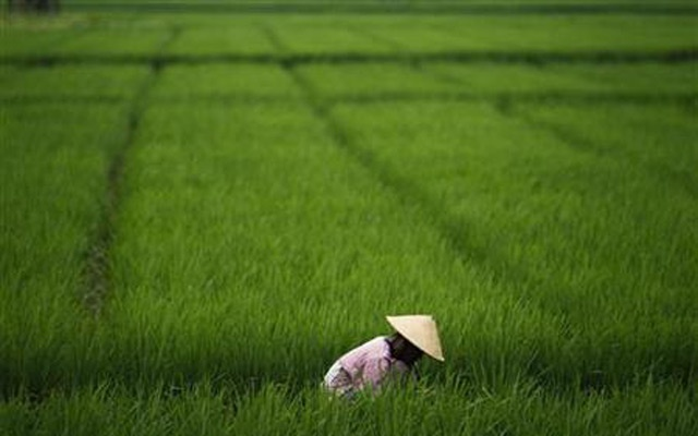 A farmer works in a paddy field in Subang, Indonesia's West Java province, January 20, 2011. Reuters