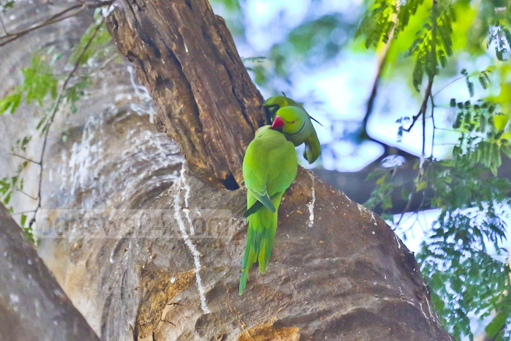 Parrots sit on a tree in the Central Shaheed Minar area in Dhaka. They build nests on trees. Photo: Abdullah Al Momin