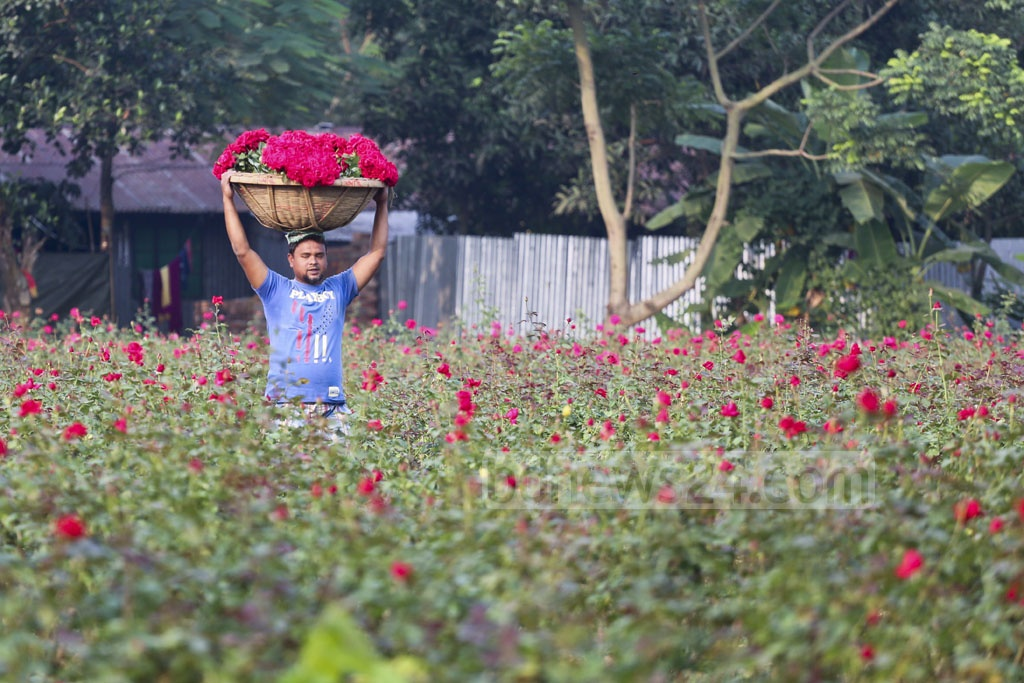 Green paddy fields are a traditional picture of Bangladesh's villages. But Sadullapur village in Savar's Birulia Union stands out with its rose gardens on both sides of the road. Photo: Abdullah Al Momin