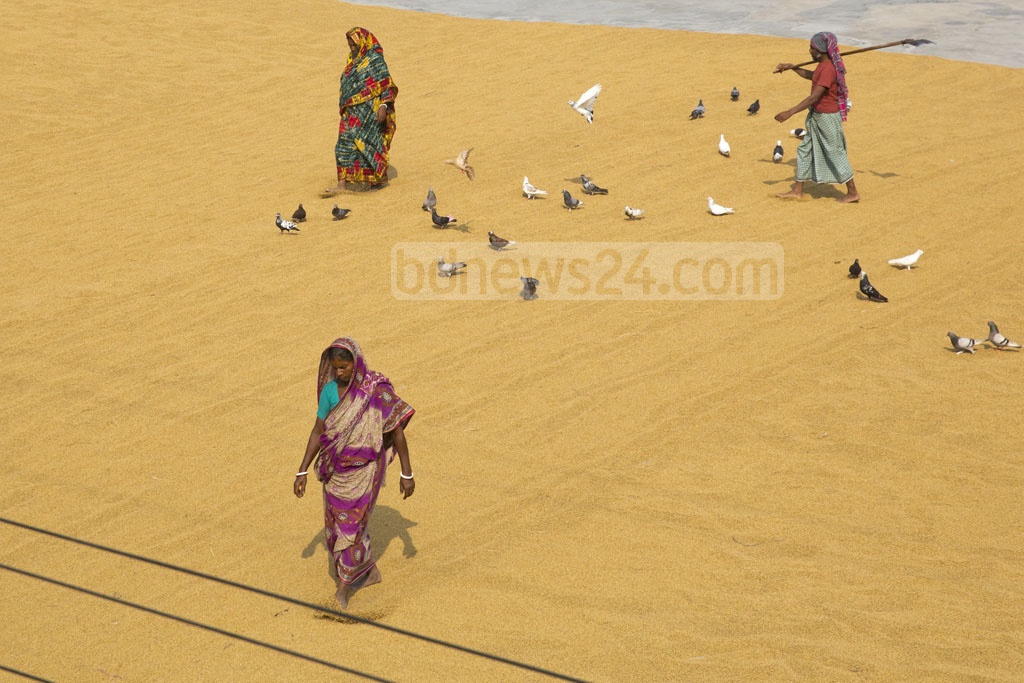 People dry new paddy after harvesting the crop at Dhamrai on the outskirts of Dhaka. Photo: Mostafigur Rahman