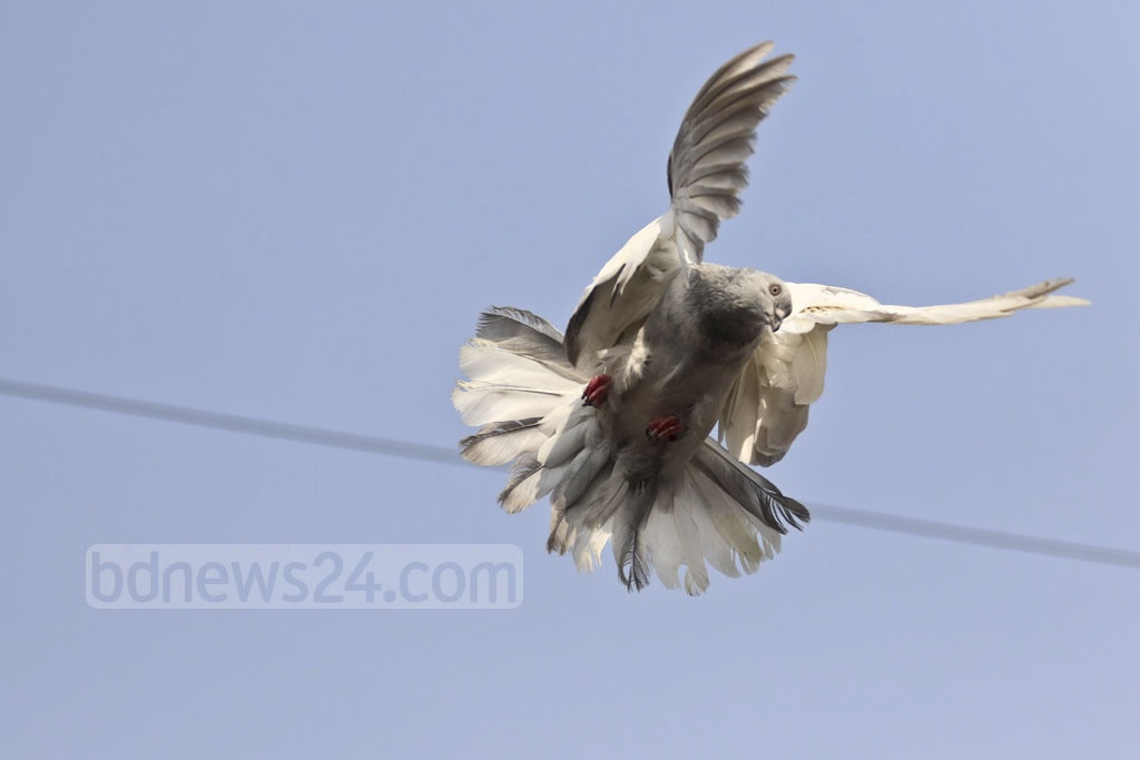 A pigeon flies in a demonstration put on by one seller. Photo: Abdullah Al Momin