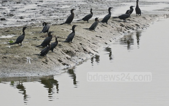 A flock of cormorants, locally known as Pankouri, basking in the sunshine in a marshland at Keraniganj's Hasnabad in Dhaka on a winter afternoon Wednesday. Photo: Abdullah Al Momin