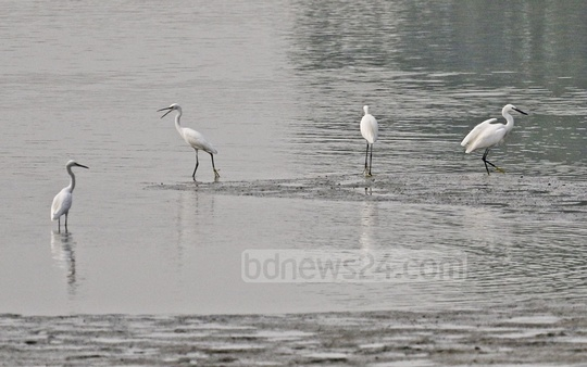 Egrets searching for food in a marshland at Keraniganj's Hasnabad in Dhaka on Wednesday. Photo: Abdullah Al Momin