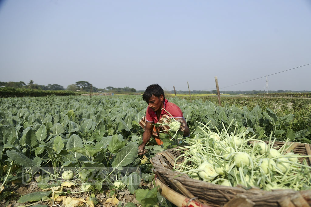 Farmers harvest turnips from fields in the Jagannathpur area of Dhaka's Keraniganj. Photo: Mahmud Zaman Ovi
