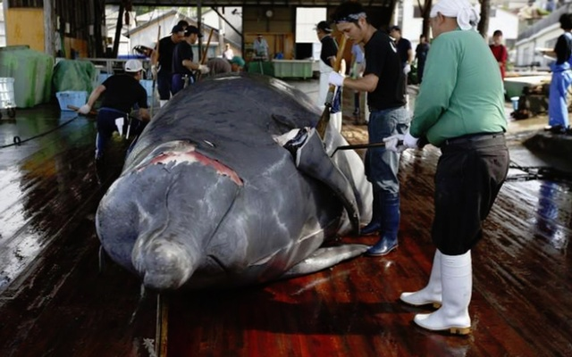 Japan should remain in IWC, cease whaling