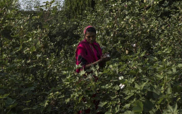 Indian worker Rambu Jaday, picks cotton in fields belonging to farmer Vikram Singh, in Vedaj village in Kadi, in Gujarat state, India, Nov. 24, 2018. As the Federal Reserve raises rates, global investors are pulling their money out of emerging markets, damaging the world's most vulnerable economies. (Rebecca Conway/The New York Times)