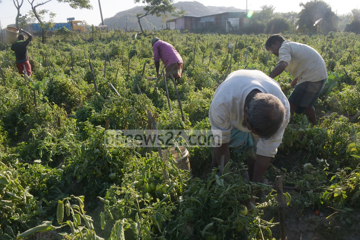 Farmers pick tomatoes on a winter afternoon at Anandabazar area in Chattogram's Halishahar. Photo: Suman Babu