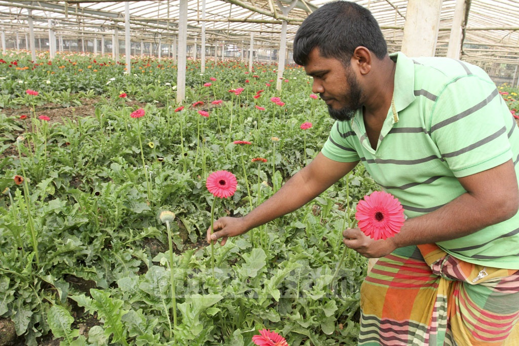 A farmer picks gerbera flowers from a garden for sale. Photo: Asif Mahmud Ove