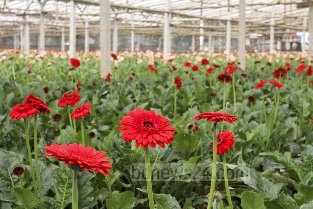 A field of gerbera flowers in a variety of colours. Photo: Asif Mahmud Ove