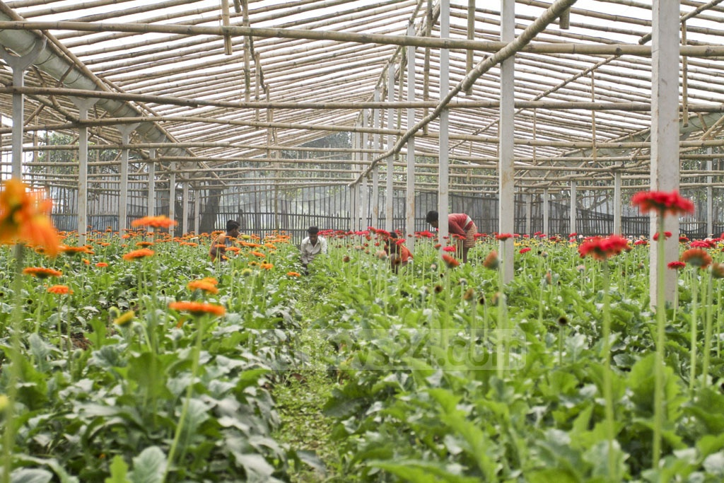 Farmers grow European gerbera flowers alongside more traditional roses in parts of Savar's Birulia Union. Photo: Asif Mahmud Ove