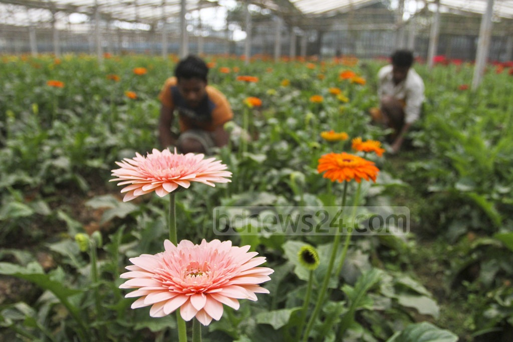 Farmers attend to their gerbera crop. Photo: Asif Mahmud Ove