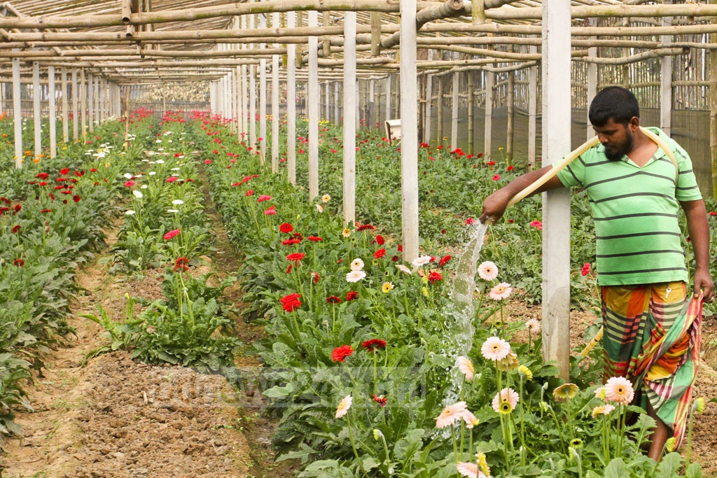 A farmer attends to his gerbera crop. Photo: Asif Mahmud Ove