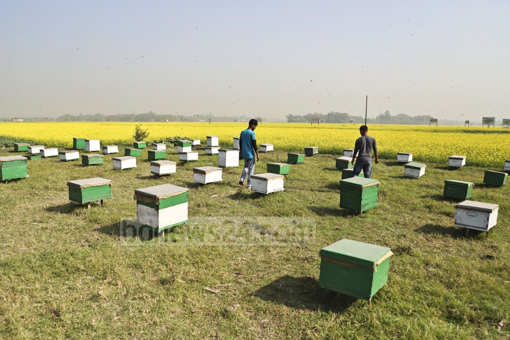 Farmers working at Moti Honey Bee Farm Project at Satgaon in Munshiganj's Sreenagar. Photo: Abdullah Al Momin