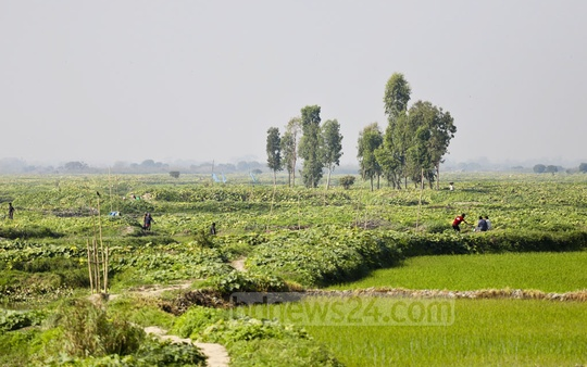 Fields of pumpkin at Arial Beel. Photo: Abdullah Al Momin