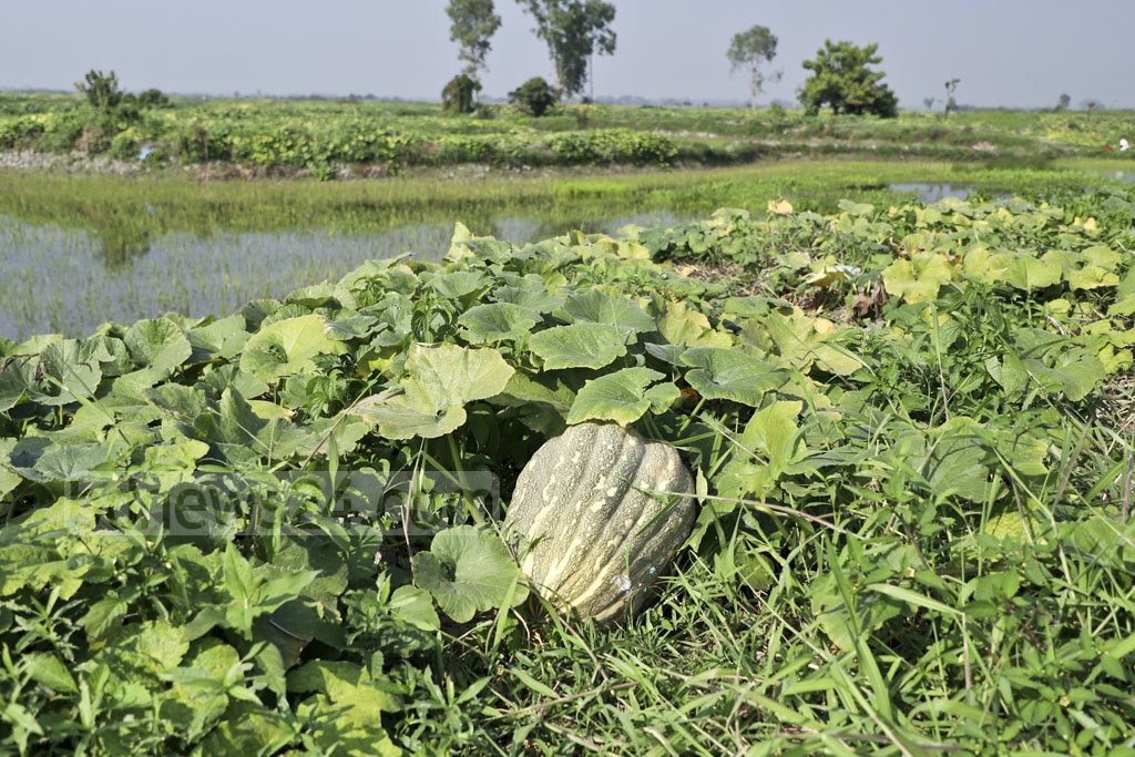 Pumpkins from the area can range in price from Tk 50 to Tk 2,000, depending on the size. Photo: Abdullah Al Momin