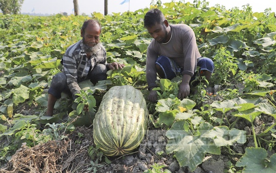 Farmers tend to the pumpkin crop in Munshiganj's Sreenagar. Photo: Abdullah Al Momin