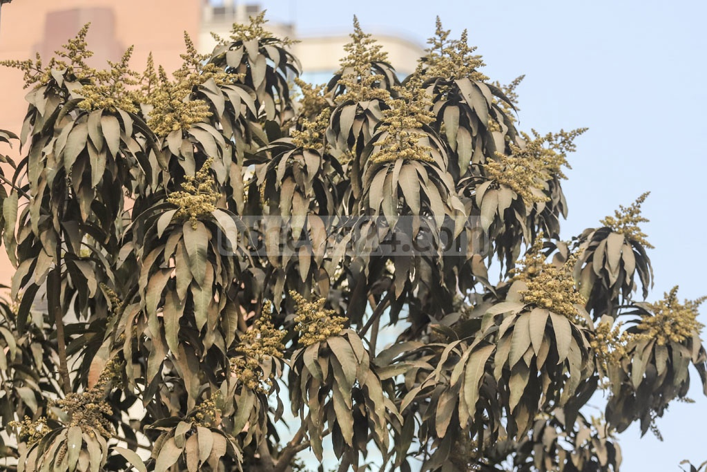 Defying the season! A mango tree at Topkhana road is seen in full bloom in winter. Photo: Abdullah Al Momin