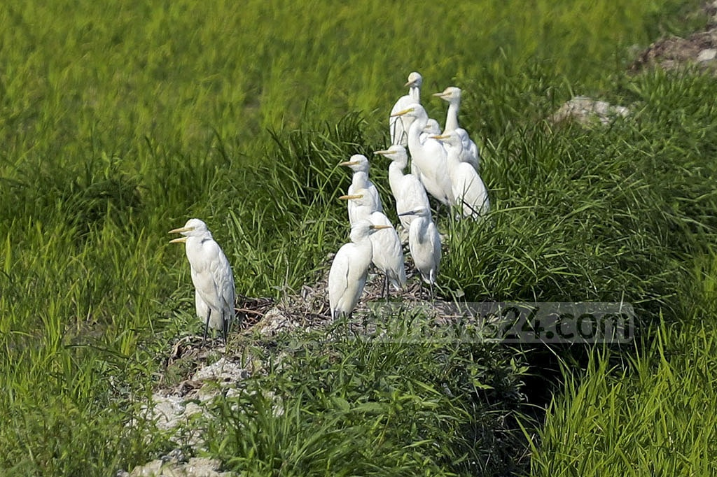 A flock of herons searches for food in Srinagar Upazila in Munshiganj. Photo: Abdullah Al Momin