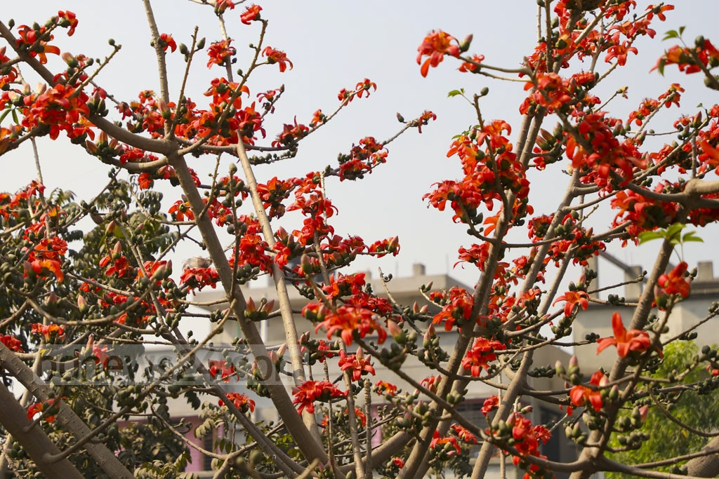 A Shimul tree in Jatrabari is in full bloom even before the arrival of spring. Photo: Abdullah Al Momin