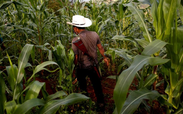 Poppy farmer Francisco Santiago Clemente walks with his gun on his back in a corn field in Juquila Yucucani in the Sierra Madre del Sur, in the southern state of Guerrero, Mexico, August 18, 2018. REUTERS/Carlos Jasso