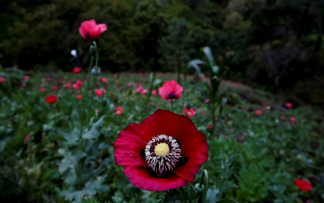 The flower of an opium poppy is seen in a field in Pueblo Viejo in the Sierra Madre del Sur, in the southern state of Guerrero, Mexico, August 25, 2018. REUTERS/Carlos Jasso