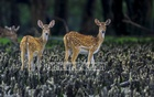 "A pair of spotted deer is roaming in the Katka Wildlife Sanctuary in the Sundarbans. Bangladesh observed Sundarbans Day with a slogan, ""Love Sundarbans on Valentine's Day"" on Thursday. Photo: Mostafigur Rahman"