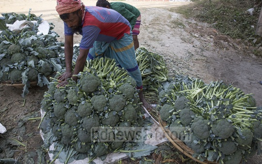 Farmers at Keraniganj's Atibazar making broccolis ready for sale in Chattrogram. Each broccoli costs Tk 10-15 at the wholesale market. Photo: Mostafigur Rahman