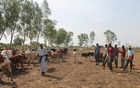 Cattle herder Boubacar Demba and his children tend to their cattle in Guana, outside Bamako, Mali. REUTERS file
