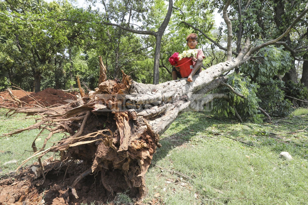 A tree at the Suhrawardy Udyan was uprooted during the nor'wester on Sunday evening.