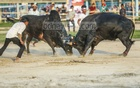Bullfights were held at the historic Paltan Maidan in Dhaka to mark Pahela Baishakh on Sunday.