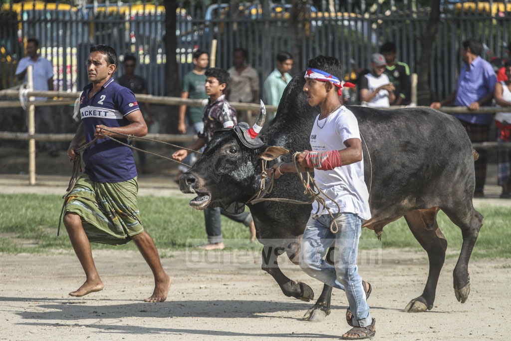 Bulls from various districts of Bangladesh were brought to Dhaka's Paltan Maidan for the contest.