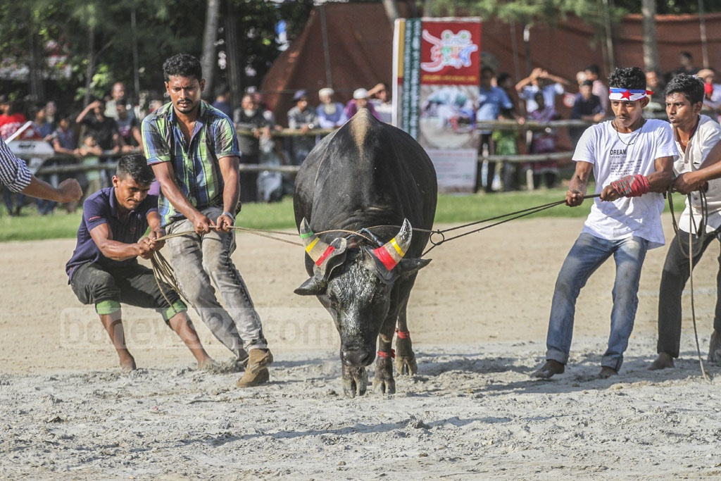 People struggle to ground a raging bull before a fight.
