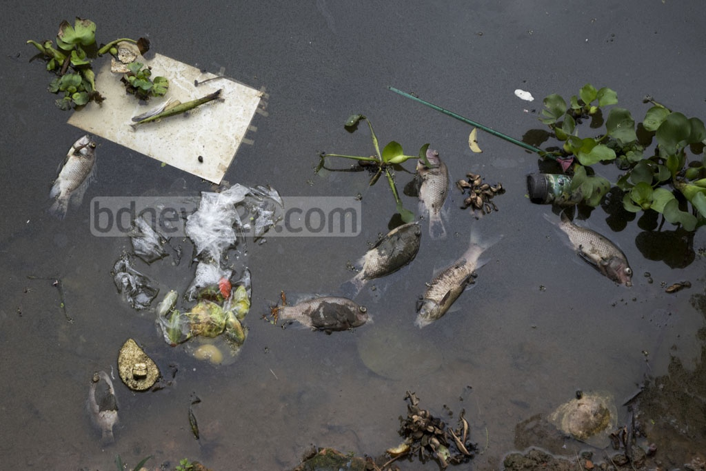 Dead fish floats in a pond near Dhaka's Dhakeshwari Temple, hit by water pollution. The picture was taken on Monday. Photo: Mostafigur Rahman