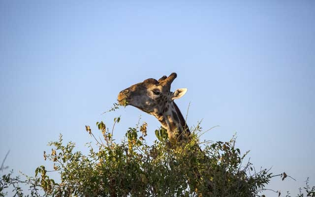 A giraffe at Chobe National Park, the third largest national park in Botswana, Jul 28, 2017. Federal wildlife officials said in 2019 that they would officially consider listing the giraffe as an endangered species, a move long sought by conservationists alarmed by the African mammal's precipitous decline and a growing domestic market for giraffe products. The New York Times